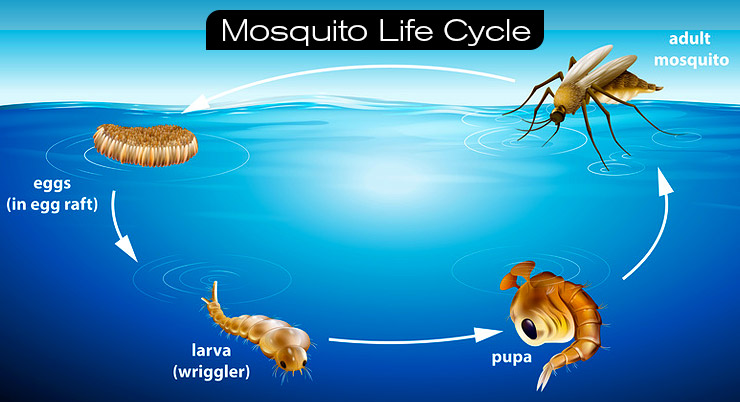 Mosquito-life-cycle-mosquito-dunks-bits